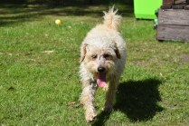 Snedley-Schnoodle-Banksia Park Puppies - 39 of 62
