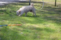 Snedley-Schnoodle-Banksia Park Puppies - 46 of 62