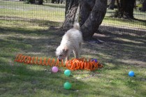 Snedley-Schnoodle-Banksia Park Puppies - 49 of 62