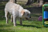 Snedley-Schnoodle-Banksia Park Puppies - 59 of 62