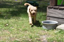 Ashton-Poodle-Banksia Park Puppies - 2 of 20