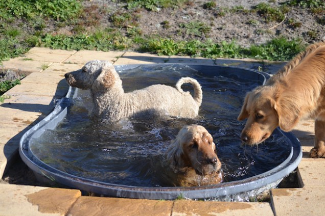 Here are our parent dogs keeping cool in the pool!