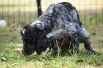 Shorty-Cocker Spaniel-Banksia Park Puppies - 19 of 37