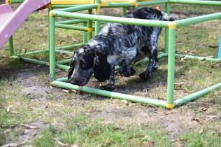 Shorty-Cocker Spaniel-Banksia Park Puppies - 22 of 37