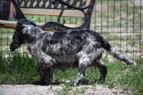 Shorty-Cocker Spaniel-Banksia Park Puppies - 29 of 37