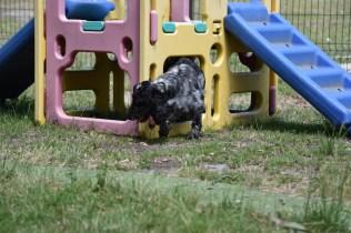 Shorty-Cocker Spaniel-Banksia Park Puppies - 32 of 37