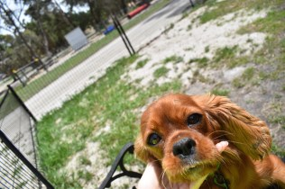 Dana-Cavalier-Banksia Park Puppies - 2 of 37