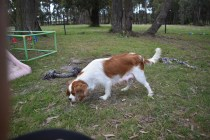 Dani-Cavalier-Banksia Park Puppies - 24 of 37