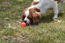 Dani-Cavalier-Banksia Park Puppies - 8 of 37