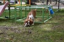 Dede-Cavalier-Banksia Park Puppies - 21 of 51
