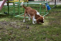 Dede-Cavalier-Banksia Park Puppies - 23 of 51