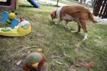 Dede-Cavalier-Banksia Park Puppies - 30 of 51