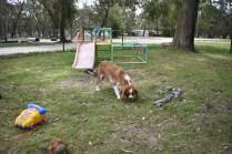 Dede-Cavalier-Banksia Park Puppies - 50 of 51