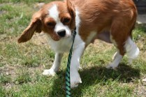 Dede-Cavalier-Banksia Park Puppies - 8 of 51