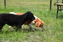 Dodi-Cavalier-Banksia Park Puppies - 14 of 23