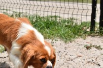 Dodi-Cavalier-Banksia Park Puppies - 16 of 23