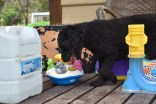 Poppie-Poodle-Banksia Park Puppies - 29 of 29