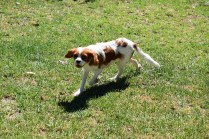 Bess-Cavalier-Banksia Park Puppies - 28 of 32