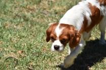Bess-Cavalier-Banksia Park Puppies - 7 of 32