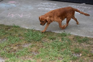 Bobby-Cavalier-Banksia Park Puppies - 11 of 24
