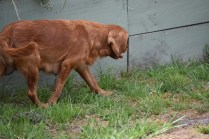 Bobby-Cavalier-Banksia Park Puppies - 15 of 24
