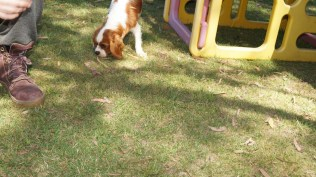 Demi-Cavalier-Banksia Park Puppies - 2 of 25