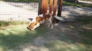 Demi-Cavalier-Banksia Park Puppies - 3 of 25