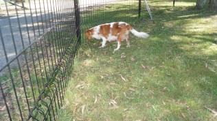 Dreamy-Cavalier-Banksia Park Puppies - 17 of 31