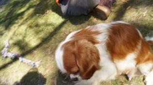 Dreamy-Cavalier-Banksia Park Puppies - 3 of 31