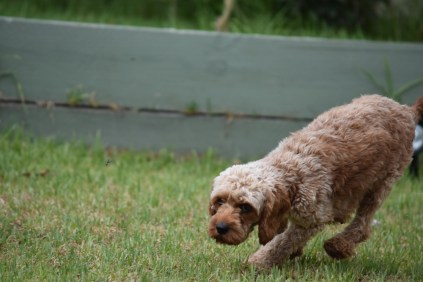 Gracie-Cavoodle-Banksia Park Puppies - 1 of 33
