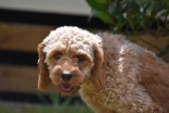 Gracie-Cavoodle-Banksia Park Puppies - 32 of 33