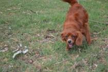 Heaven-Cavoodle-Banksia Park Puppies - 15 of 22