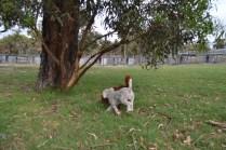 Heaven-Cavoodle-Banksia Park Puppies - 8 of 22