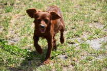 Muppet-Cavoodle-Banksia Park Puppies - 11 of 27