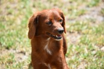 Muppet-Cavoodle-Banksia Park Puppies - 16 of 27