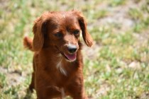 Muppet-Cavoodle-Banksia Park Puppies - 18 of 27