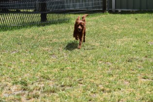 Muppet-Cavoodle-Banksia Park Puppies - 2 of 27
