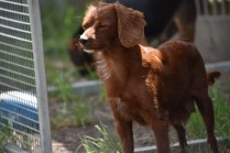Muppet-Cavoodle-Banksia Park Puppies - 21 of 27
