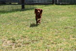 Muppet-Cavoodle-Banksia Park Puppies - 3 of 27