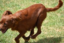 Muppet-Cavoodle-Banksia Park Puppies - 8 of 27