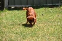 Neta-Cavalier-Banksia Park Puppies - 13 of 42