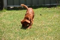 Neta-Cavalier-Banksia Park Puppies - 14 of 42