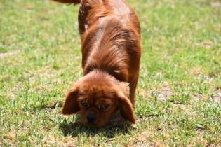 Neta-Cavalier-Banksia Park Puppies - 42 of 42
