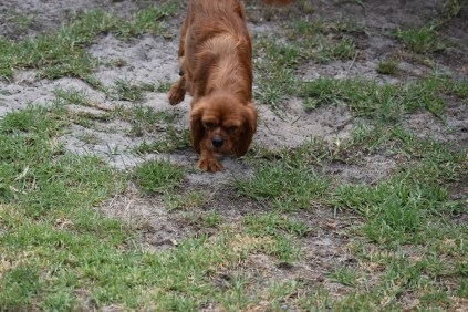 Noni-Cavalier-Banksia Park Puppies - 2 of 25