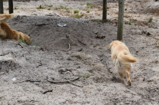 Oscar-Golden Retriever-Banksia Park Puppies - 2 of 41