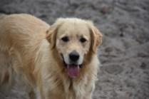 Oscar-Golden Retriever-Banksia Park Puppies - 40 of 41