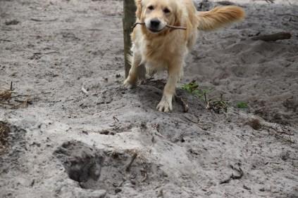 Oscar-Golden Retriever-Banksia Park Puppies - 8 of 41