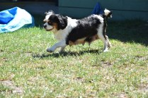 Petunia-Cavalier-Banksia Park Puppies - 20 of 34