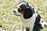 Petunia-Cavalier-Banksia Park Puppies - 31 of 34