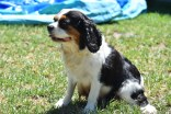 Petunia-Cavalier-Banksia Park Puppies - 33 of 34